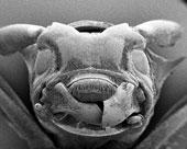 Halıdaki Mite (Akar)'ın Elektro-Mikroskop ile çekilmiş fotoğrafı.